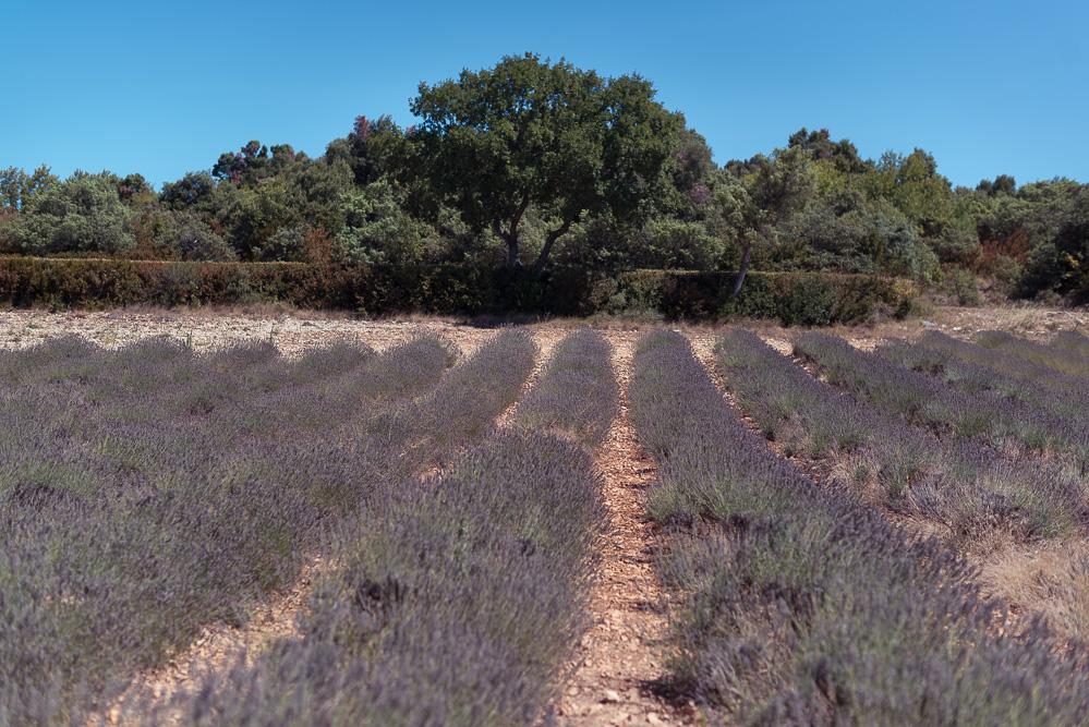 andysparkles-Reiseblog-Arosa Flusskreuzfahrt-Lavendel-Provence