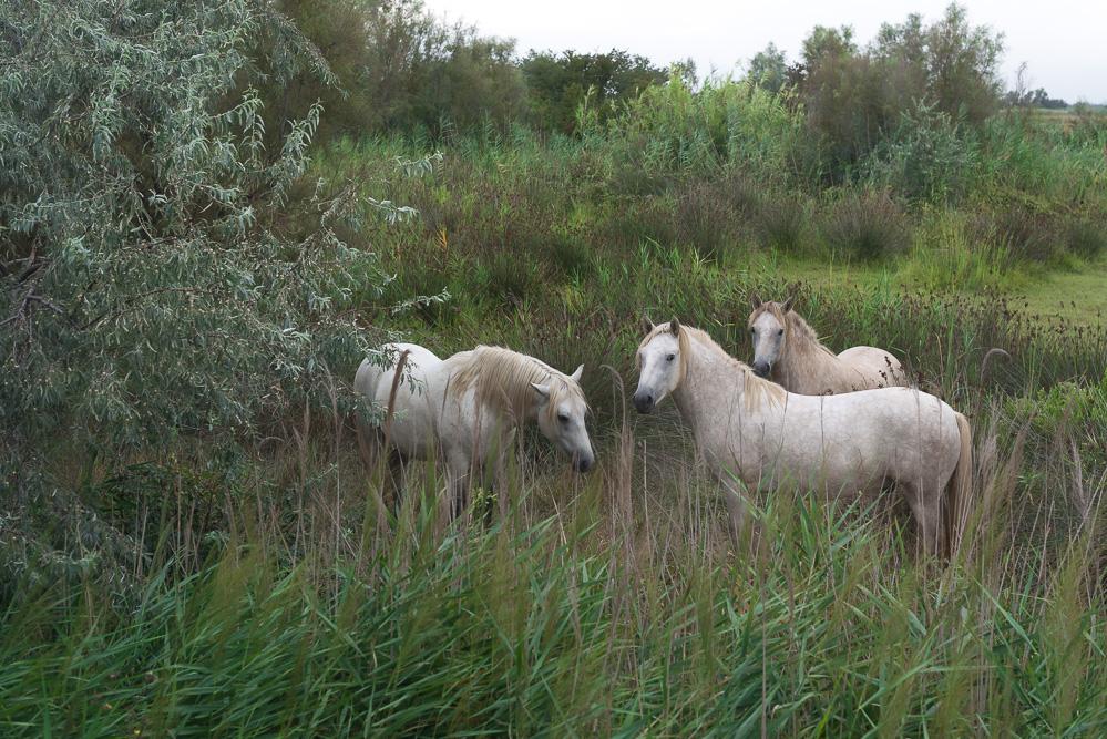 andysparkles-Arosa Flusskreuzfahrt-Camargue-Wildpferde