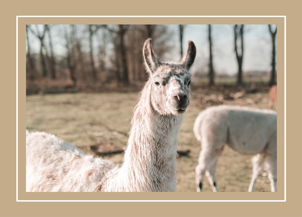Wanderung mit Lamas und Alpakas-Lamahof-Brandenburg-Reiseblog-andysparkles.de