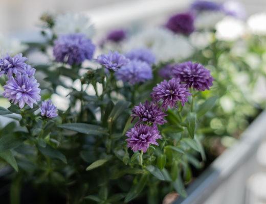 Tipps für den Balkon-Balkonblumen richtig einpflanzen-Balkon Interiorblog-andysparkles