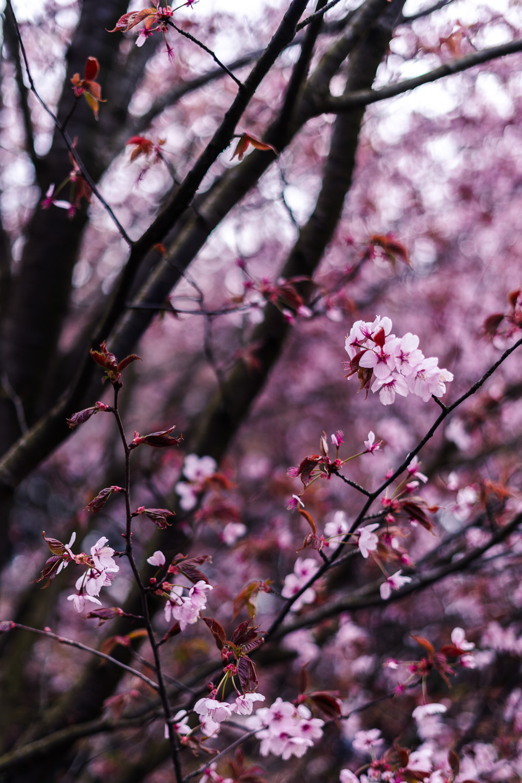 Kirschblüte in Berlin