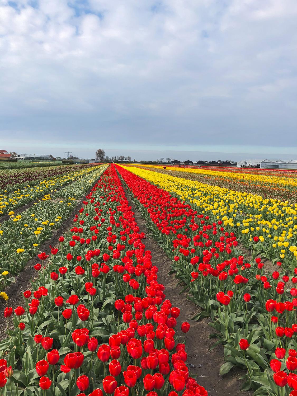 Tulpenblüte nach Holland