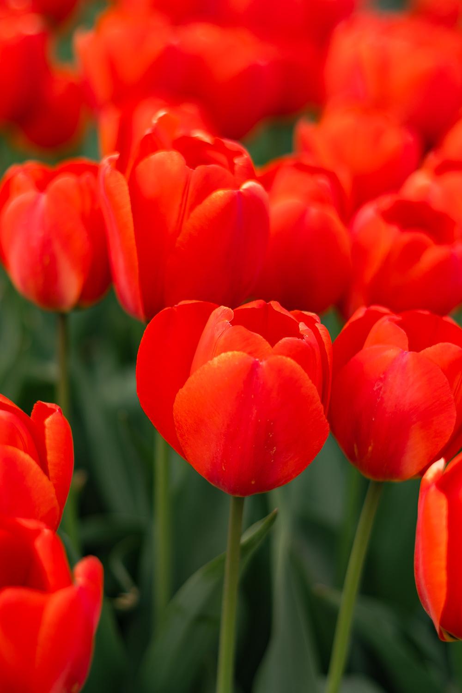 Rote Tulpen Nahaufnahme