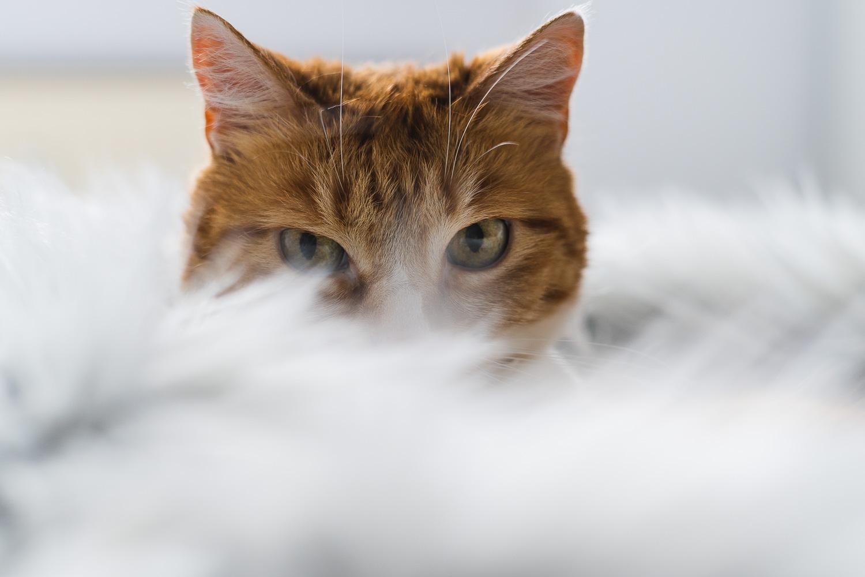 Nahaufnahme rote Katze