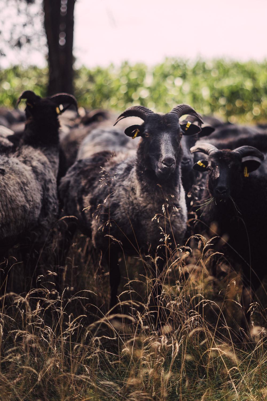 Herde Heidschnucken