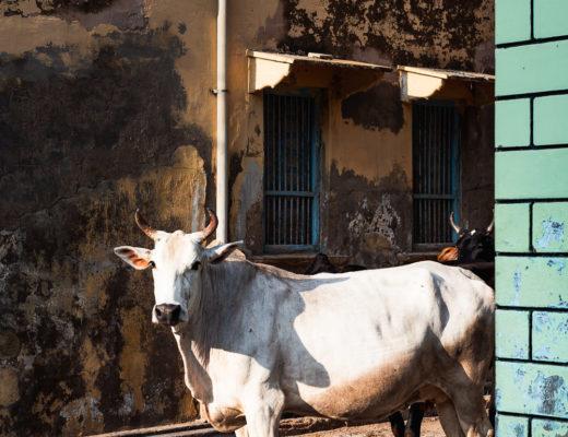 Kuh in Indien