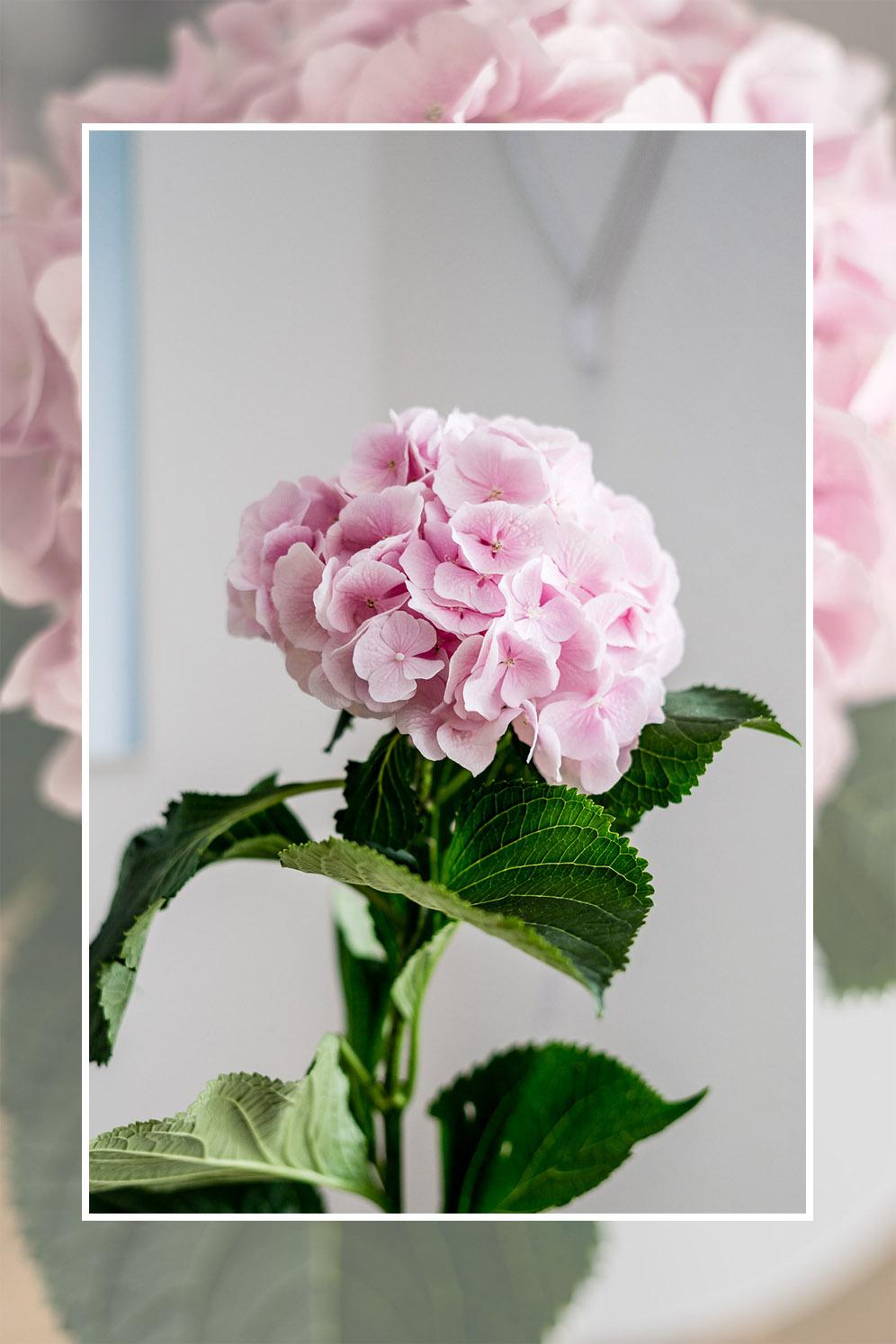 Hortensie in rosa