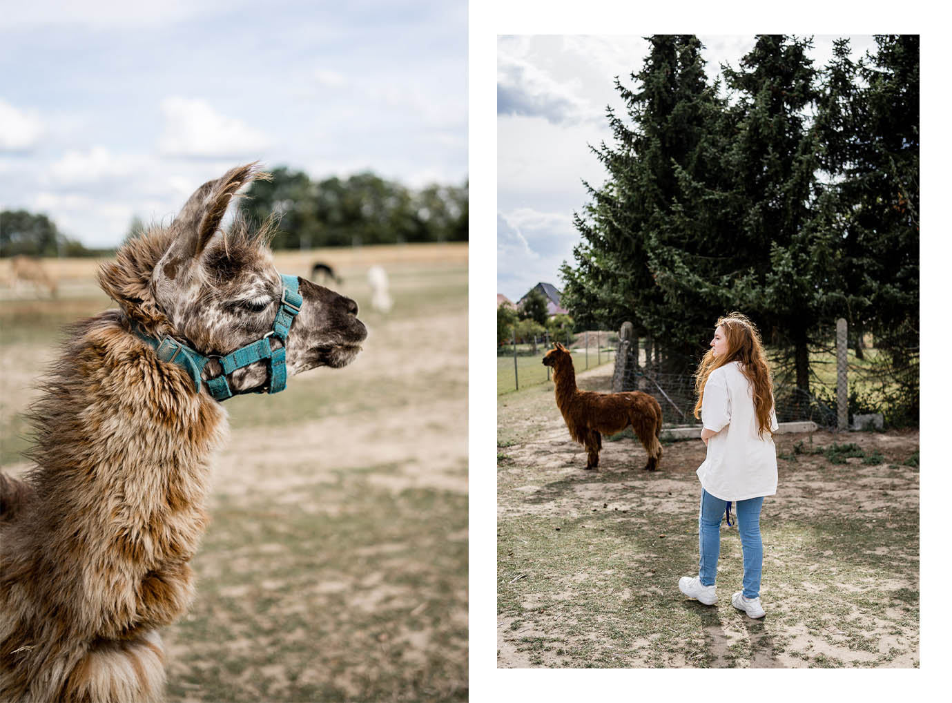 Alpaca-Island in Hohenbucko