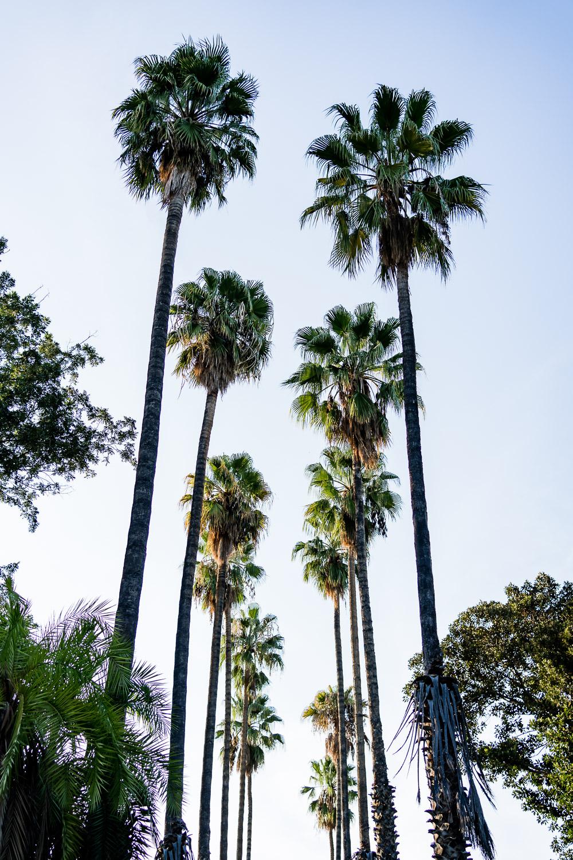 Palermo Palmen